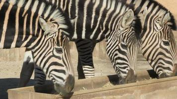 Zebras eating video