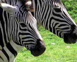 Two zebras in close-up