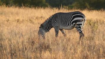 zebra da montanha do cabo video
