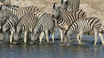 Plains Zebras drinking video