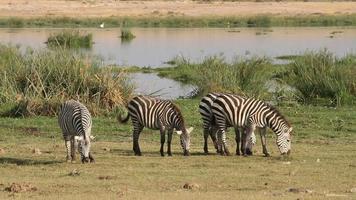 Ebenen Zebras weiden