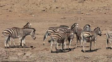 Plains zebras interacting video