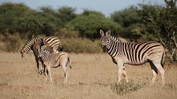 Plains Zebras and foal video