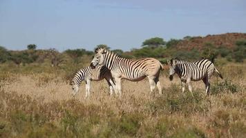 Plains Zebras grazing video