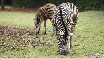 Zebra im Zoo