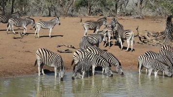 llanuras cebras bebiendo