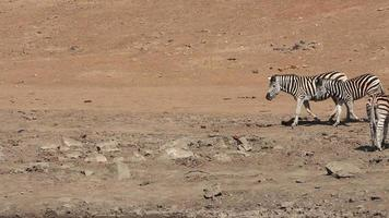 Plains Zebras walking video