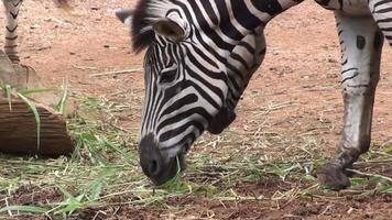 zebra comendo grama video