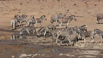 Ebenen Zebras trinken