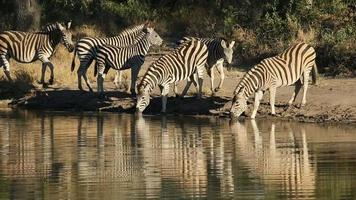 Plains Zebras at waterhole video