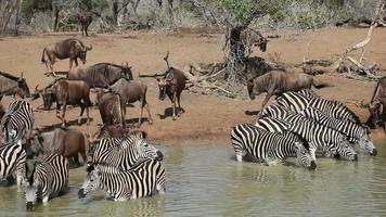 Zebras and wildebeest drinking
