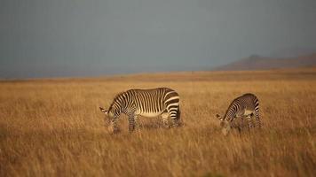 zebras da montanha do cabo video