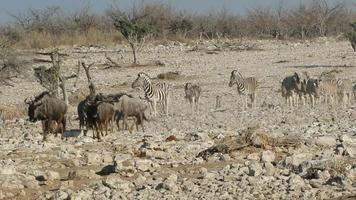 Wildebeest and zebra walking video