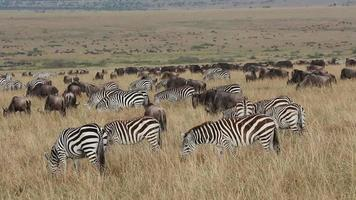 Wildebeest and zebras grazing