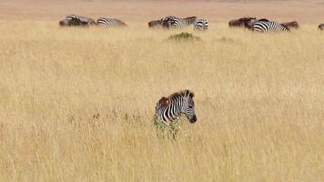 Baby zebra, Masai Mara video