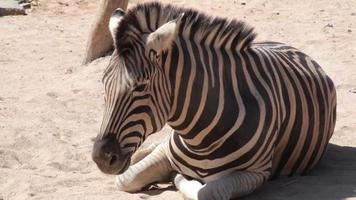 Common Zebra lay down and relax on the ground, closeup