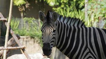 "Common Zebra, science names ""Equus burchellii"", closeup in HD"