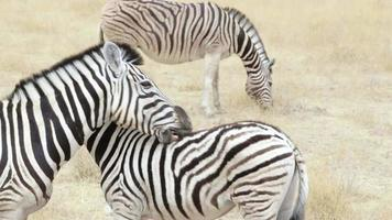 Burchell's zebra with foal nibbling fur video