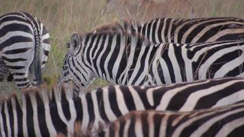 Nahaufnahme: Zebras in Afrika