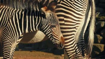 potro zebra por sua mãe video
