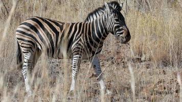 zebra pastando nas planícies video