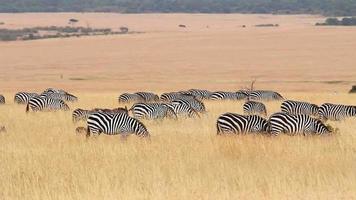 Zebras eating grass, Masai Mara video