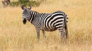 Zebra eating grass, Masai Mara video
