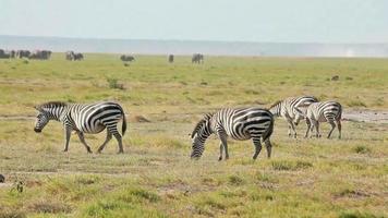 Zebrawandern, Amboseli Park, Kenia