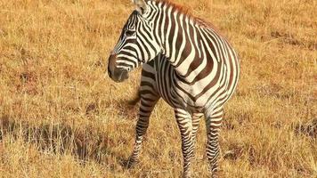 Zebra eating grass, Nakuru Park video