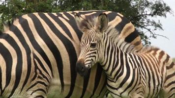 Zebra foal with mother, South Africa video