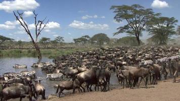 Herd of wildebeest and zebra resting