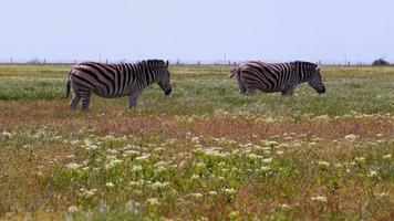 zebras pastando em um dia quente video