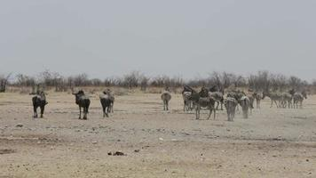 Zebras and wilderbeest in african bush