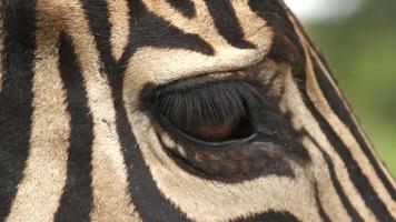 Gros plan de l'oeil de zèbre, Afrique du Sud video