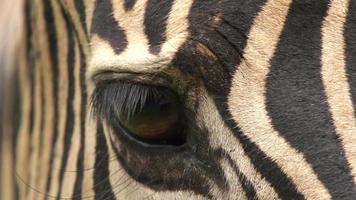 primer plano, de, ojo de cebra, sudáfrica