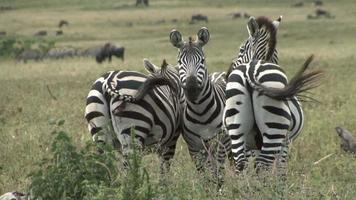 Three zebras resting in Serengeti National Park video