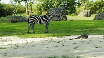 zebra e un'iguana su uno splendido scenario video