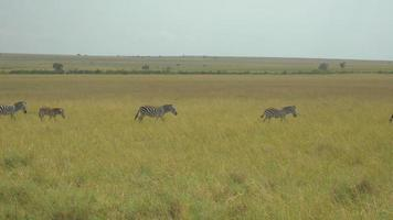 Zebras in African safari Maasai Mara video