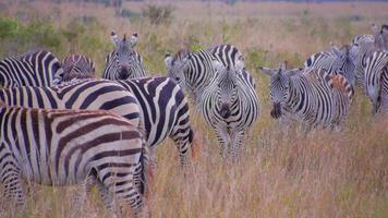 Nahaufnahme: Herde Zebras in Afrika