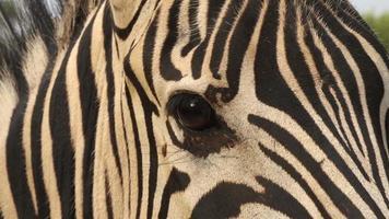 primer plano, de, ojo de cebra, sudáfrica video