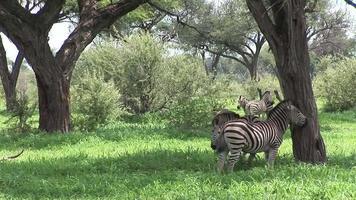 Caballo cebra salvaje en la sabana africana de Botswana África