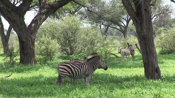 cavalo zebra selvagem na savana africana do botsuana africana