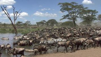 Herd of wildebeest and zebras at the river