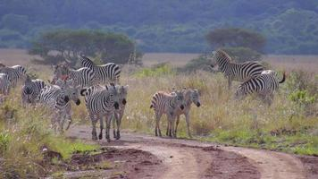 Herde von Zebras, die auf Feldweg in Afrika gehen