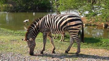 vídeo full hd sem som: zebra is eating video