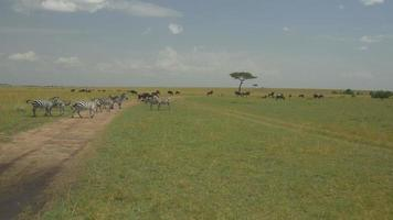 Antenne: Gnus und Zebras in Kenia Safari Maasai Mara