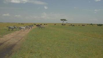 AERIAL: Wildebeest and zebras in Kenya safari Maasai Mara video