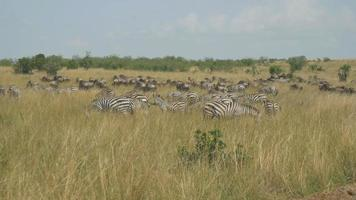 Large herd of zebras eating grass in African safari