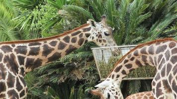 Giraffes eating video