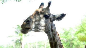 belle girafe gros plan